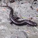 Northern Dusky Salamander (Adult)
