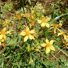 Perforated St. John's Wort