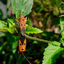 Red Cotton Stainer Bug