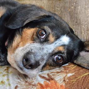 Bambi by Lawrence Ferreira - Animals - Dogs Portraits ( love, hunter, unconditional love, pet, dog portrait, beagle, heeler, loving, cute, house dog, cute dog,  )