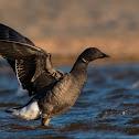 Dark-bellied Brant Goose