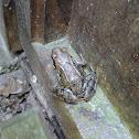 Bruine Kikker - European Common Frog