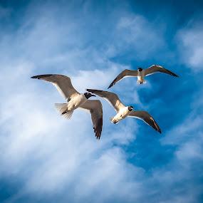 Gulls by Bob Barrett - Animals Birds ( clouds, flight, seagulls, birds, gulls )