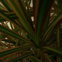 red-margined Dracaena