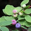 Alaska Blueberry