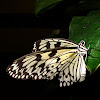 Butterfly,  Idea leuconoe gordita