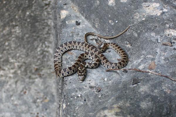 Horseshoe snake (juvenile)