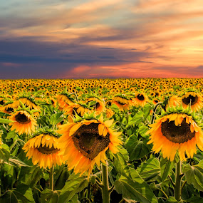 Sunflowers (Valensole) by Tomas Vocelka - Landscapes Prairies, Meadows & Fields ( field, provence, sunset, sunflowers, sunflower, france, yellow, flowers, valensole, Hope )