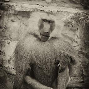 The boss by Boutheina Ferid - Animals Other Mammals ( look, sitting, baboon, mammal, monkey, animal )