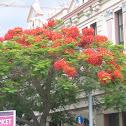 Flame Tree, Royal Poinciana
