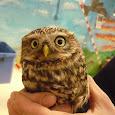 Owls of Germany & Benelux