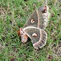 Cercropia silkmoth