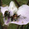 Beetles on a Butterfly Pea Flower