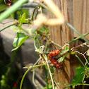 Gulf Fritillary (Larval)