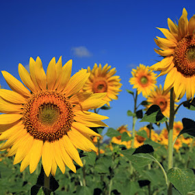 by Cornelis Cornelissen - Flowers Flowers in the Wild