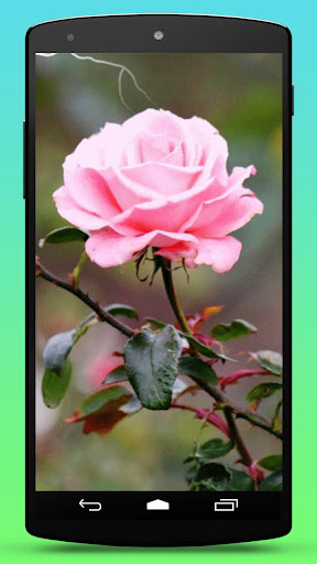 Rose Flower Live Wallpaper
