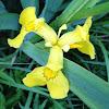 Keltakurjenmiekka; Yellow Iris