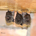 Mexican fruit bat