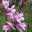 Pink Bugle Lily