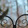 Redpoll & Chickadee Disagreement