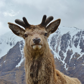 What You Doing? by Carla Maloco - Animals Other Mammals ( scotland, red deer, mammal )