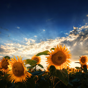 Glory pt.III. by Zsolt Zsigmond - Flowers Flowers in the Wild ( clouds, hdr, backlight, sunflowers, sunrays, summer, light,  )