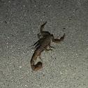 Arizona Bark Scorpion