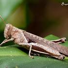 Gafanhoto (Grasshopper)