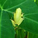 Barking Tree Frog
