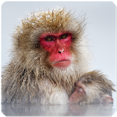 Snow Monkey Sounds and Voice