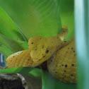 Bocaraca or Eyelash Viper
