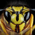 Intense Bees and Wasps of the SouthEastern US