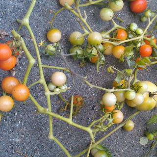 Fried Green Cherry Tomatoes.