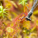 round-leaved sundew & damselfly