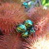 Stink Bug - Nymph