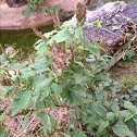 Slender amaranth