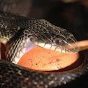 Texas (Black) Rat Snake