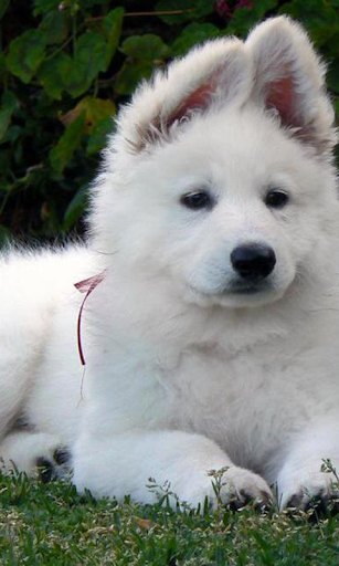 白犬の壁紙