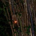 Brown mouse lemur