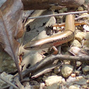 Brown Forest Skink