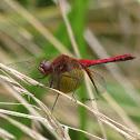 Cherry-faced Meadowhawk