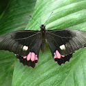 Ruby Spotted Swallowtail