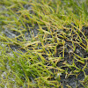 Mat-forming Quillwort