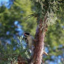 Downy woodpecker, male and female