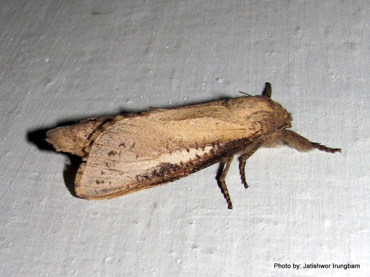 Cossidae