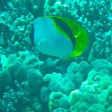 Lined Butterflyfish - kikakapu