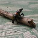 Sap beetle, Picnic beetle
