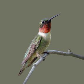 Ruby-throated Hummingbird by Liz Crono - Animals Birds ( ruby, birds, hummingbirds,  )