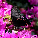 大鳳蝶(Papilio memnon heronus)
