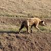 spottet Hyena (crocuta crocuta)